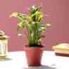 Peace Lily In Red Ceramic Pot